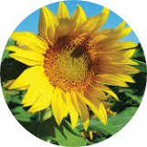 Profile photo of sunflower1106
